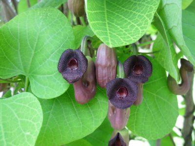 Mandžiūrinė kartuolė (Aristolochia manshuriensis)