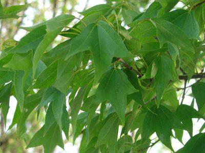 Triskiautis klevas (Acer buergerianum)