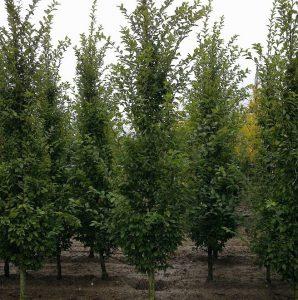 Trakinis klevas 'Green Column' (Acer campestre Green Column)
