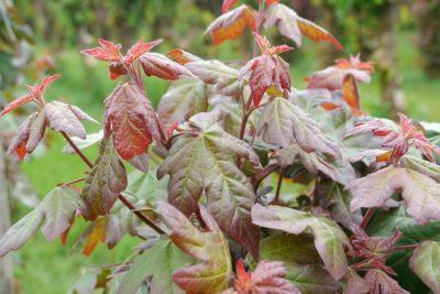 Trakinis klevas 'Red Shine' (Acer campestre 'Red Shine')