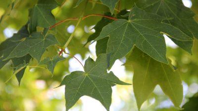 Armėninis klevas 'Rubrum' (Acer cappadocicum 'Rubrum')