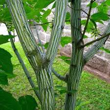 Margažievis klevas (Acer davidii)