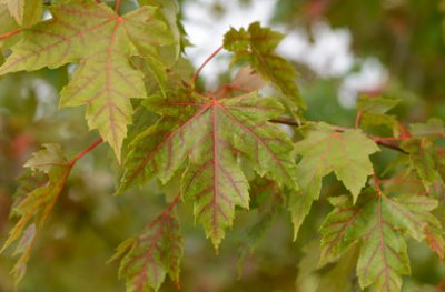 Sidabruotasis klevas 'Jeffersed' ('Autumn Blaze') (Acer freemanii 'Jeffersred')