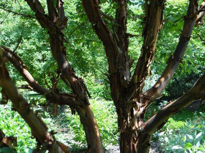 Popieržievis klevas (Acer griseum)