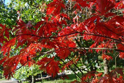 Japoninis klevas 'Aconitifolium' (Acer japonicum 'Aconitifolium')