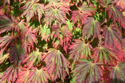 Japoninis klevas 'Aconitifolium Dissectum' (Acer japonicum 'Aconitifolium Dissectum')