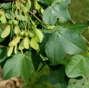 Triskiautis klevas (Acer monspessulanum)