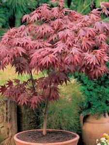 Plaštakiškasis klevas 'Atropurpureum' (Acer palmatum 'Atropurpureum')