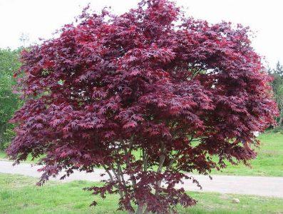 Plaštakiškasis klevas 'Bloodgood' (Acer palmatum 'Bloodgood')