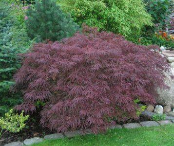 Plaštakiškasis klevas 'Dissectum' (Acer palmatum 'Dissectum')