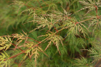 Plaštakiškasis klevas 'Emerald Lace' (Acer palmatum 'Emerald Lace')