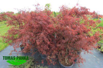 Plastakiškasis klevas 'Firecracker' (Acer palmatum 'Firecracker')