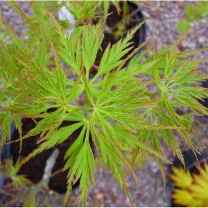 Plaštakiškasis klevas 'Seiryu' (Acer palmatum 'Seiryu')