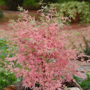 Plastakiškasis klevas 'Taylor' (Acer palmatum 'Taylor')