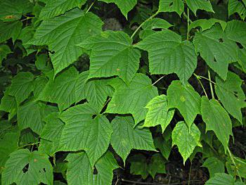 Pensilvaninis klevas (Acer pensylvanicum)