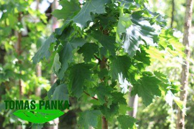Paprastasis klevas 'Columnare' (Acer platanoides 'Columnare')