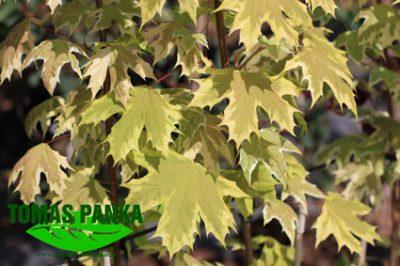 Paprastasis klevas 'Drummondii' (Acer platanoides 'Drummondii')