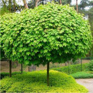 Paprastasis klevas 'Globosum' rutulinis (Acer platanoides 'Globosum')