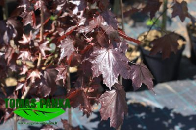 Paprastasis klevas 'Royal Red' (Acer platanoides 'Royal Red')
