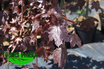 Paprastasis klevas 'Royal Red' (Acer platanoides 'Royal Red')