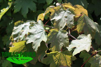 Raudonasis platanalapis klevas (Acer pseudoplatanus rubrum)