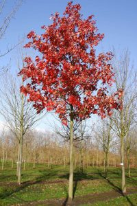 Raudonasis klevas 'October Glory' (Acer rubrum 'October Glory')