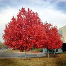 Raudonasis klevas (Acer rubrum)