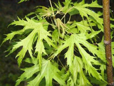 Sidabrinis klevas 'Laciniatum Wieri' (Acer saccharinum 'Laciniatum Wieri')