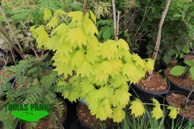 Gelsvasis klevas 'Aureum' (Acer shirasawanum 'Aureum')