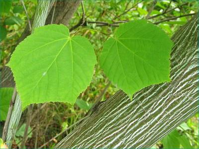 Žaliažievis klevas (Acer tegmentosum)