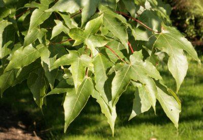 Klevo hibridas 'Annae' (Acer × zoeschense 'Annae')
