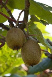 Kininė aktinidija 'Boskoop' (Actinidia deliciosa 'Boskoop')