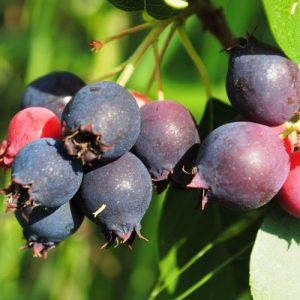 Alksnialapė medlieva 'Krasnojarskaja' (Amelanchier alnifolia 'Krasnojarskaja')