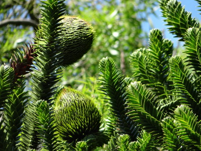 Čilinė araukarija (Araucaria araucana)