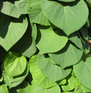Didžialapė (stambialapė) kartuolė (Aristolochia macrophylla)