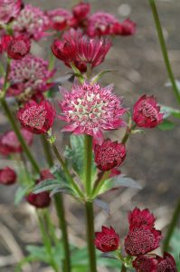 Didžioji astrancija 'Ruby Cloud' (Astrantia major 'Ruby Cloud')
