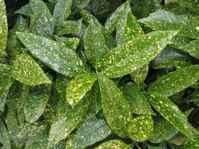 Japoninė aukuba 'Crotonifolia' (Aucuba japonica 'Crotonifolia')