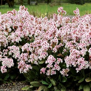 Bergenija Dragonfly TM 'Angel Kiss' (Bergenia Dragonfly TM 'Angel Kiss')