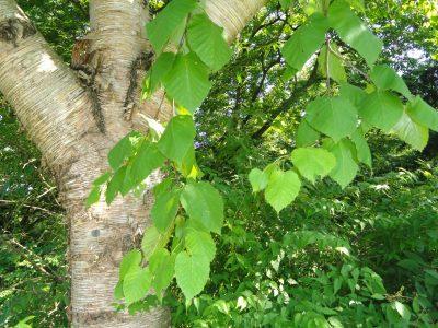 Maksimovičiaus beržas (Betula maximowicziana)