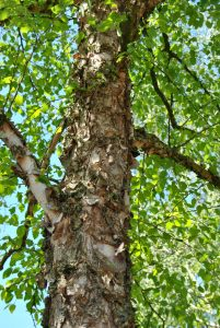 Juodasis beržas (Betula nigra)