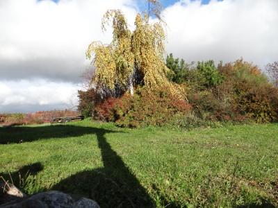 Karpotasis beržas 'Youngii' (Betula pendula 'Youngii')