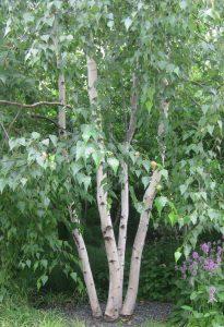 Himalajinis beržas 'Doorenbos' (Betula utilis 'Doorenbos')