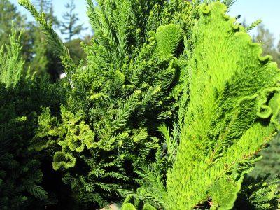 Japoninė kriptomerija 'Cristata' (Cryptomeria japonica 'Cristata')