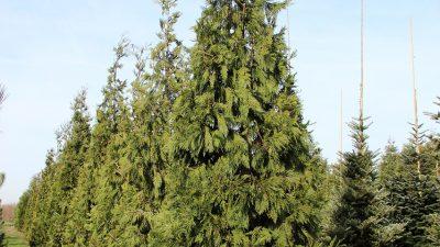 Kaliforninis kedrotis 'Pillar' (Calocedrus decurrens 'Pillar')