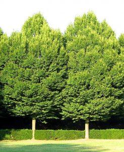 Paprastasis skroblas (Carpinus betulus)