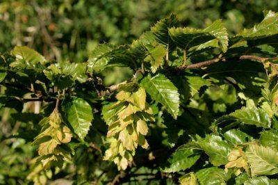 Japoninis skroblas (Carpinus japonica)