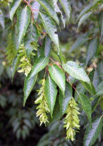 Skroblas (Carpinus viminea) (Carpinus viminea)