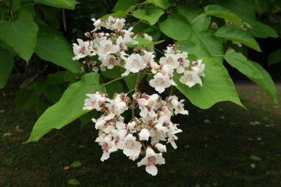 Paprastoji katalpa (Catalpa bignonioides)