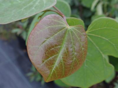 Kanadinis cercis (Cercis canadensis)