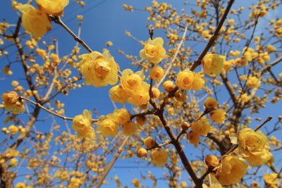 Ankstyvasis žiemuvis (cinomantas) (Chimonanthus praecox)